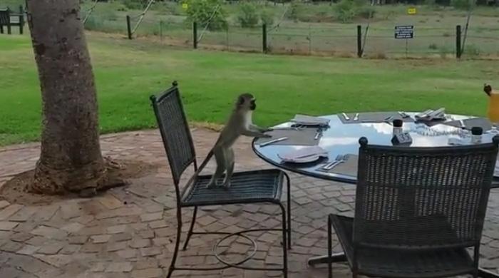 The Monkeys Were Bananas At Baknbung Bush Lodge In Pilanesberg!